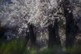 La floración del almendro